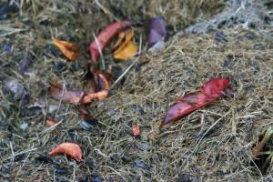 autumn-leaves-on-compost